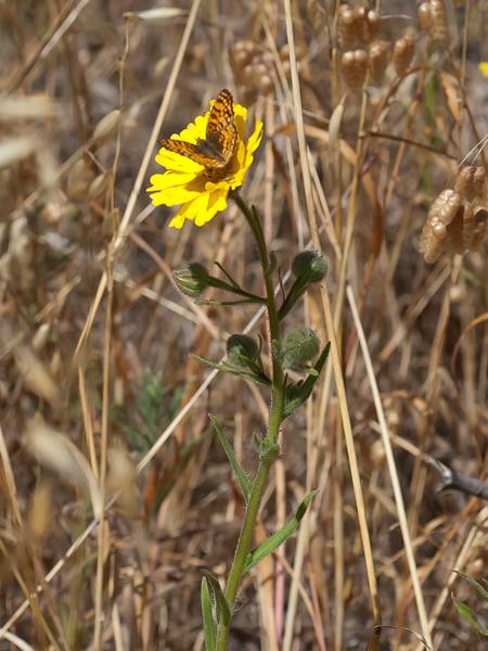 Mylitta crescent   (Phyciodes mylitta)