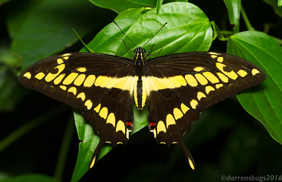 Giant Swallowtail, Papilio cresphontes, from Monteverde, Costa Rica. These sizable insects can boast impressive wingspans of over 5.5 inches (14 cm), distinguishing them as the largest butterflies in North America.