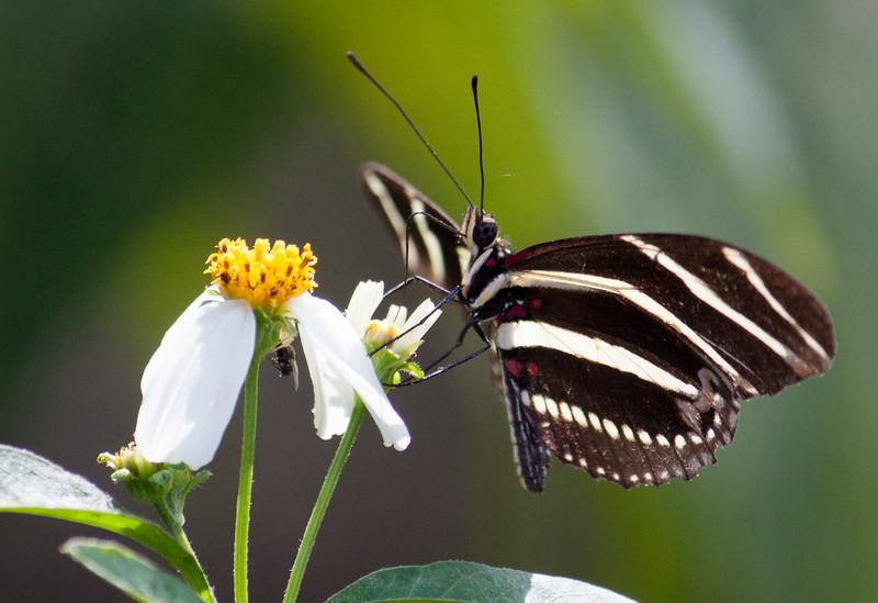 zebra longwing on spanish needle flower