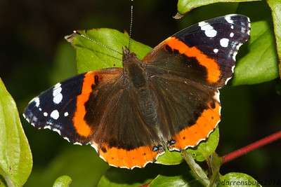 Red Admiral, Vanessa atalanta, from Iowa.