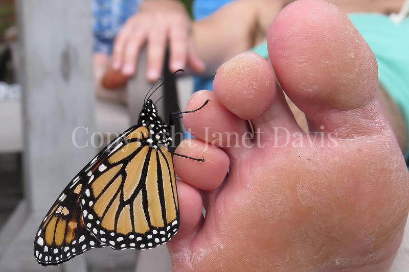 Monarch Butterfly Tasting Salt From Sweat on Man's Toe 1