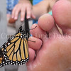 Monarch Butterfly Tasting Salt From Sweat on Man's Toe 1