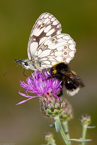 Marbled White (Melanargia galathea) and bumblebee