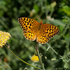 Common checkerspot