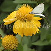 Cabbage White Butterfly on Yellow Gaillardia 1