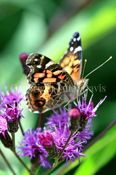 American Painted Lady Butterfly on New York Ironweed 2