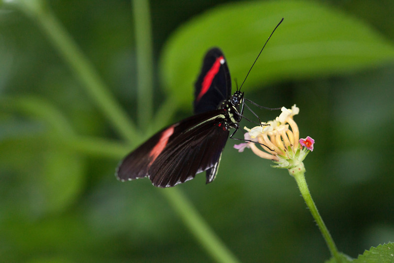 Close up of red and black butterfly feeding on a flower