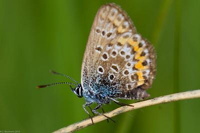 Silver-studded Blue (?) (Plebejus cf. argus)