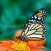 Monarch Butterfly on Mexican Sunflower 1