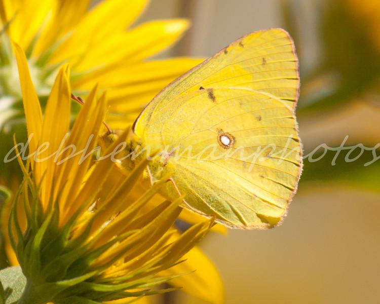 Orange Sulphur on Sunflowers