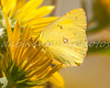 Orange Sulphur on Sunflowers