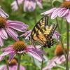 Butterfly E4A6112