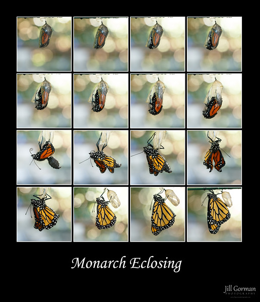 monarch eclosing2 edit