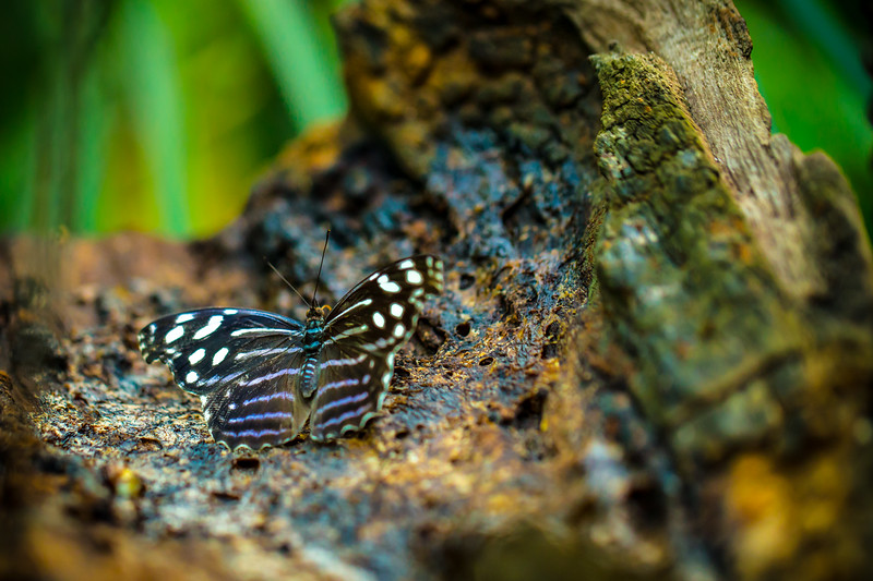 Blue Wave Buttefly (Myscelia cyaniris)