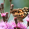 American Painted Lady Butterfly on New York Ironweed 4