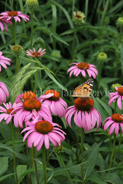 Painted Lady Butterfly on Purple Coneflower 6