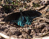 Pipevine Swallowtail in Arizona in Winter