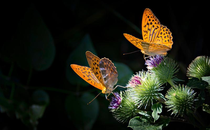Butterfly-085.jpg