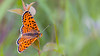 Spotted Fritillary (Red-Band Fritillary) / Melitaea didyma / Tweekleurige parelmoervlinder