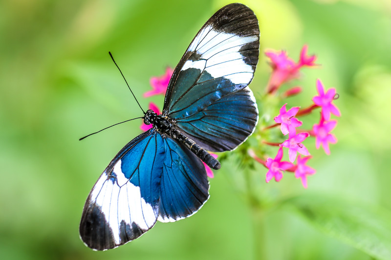 Sapho Longwing Butterfly (Heliconius sapho)