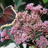 Mourning Cloak Butterfly on Joe Pye Weed