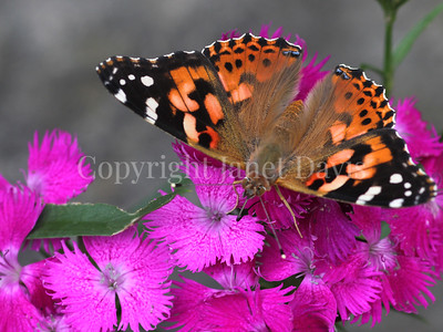 Painted Lady Butterfly on China Pinks 5