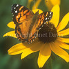 American Painted Lady on Blackeyed Susan 3