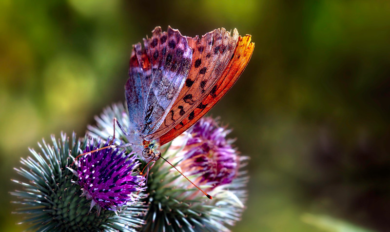 Butterfly-071.jpg