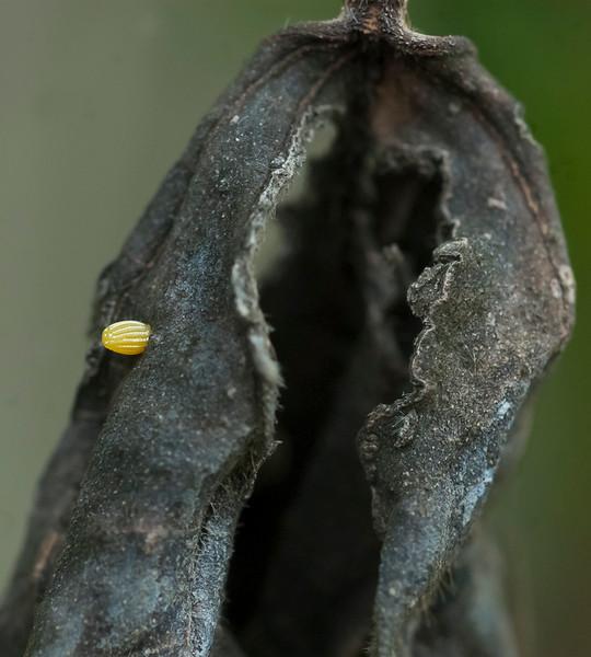 Gulf fritillary egg
