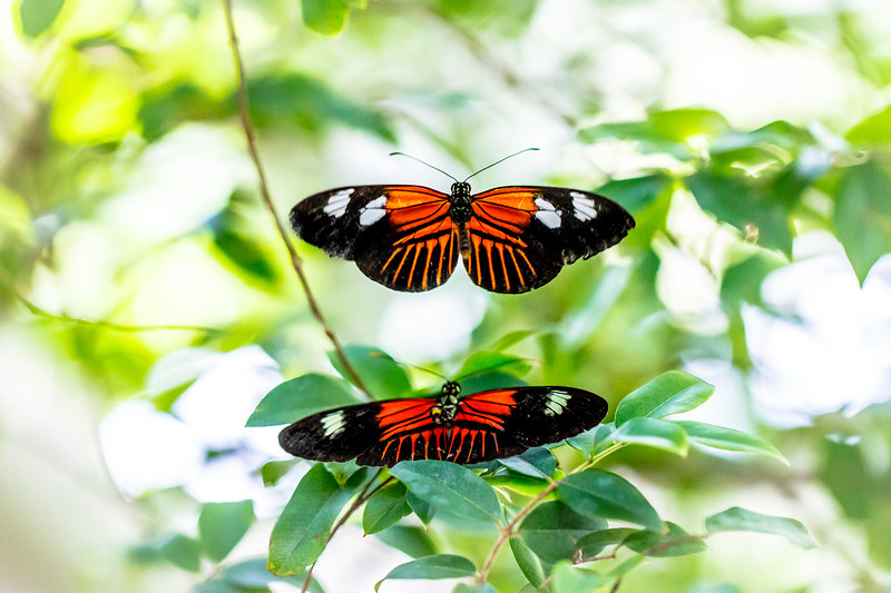 Doris Longwing Butterfly (Laparus doris)