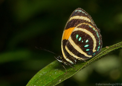 Aerias' Six-spotted Eighty-eight, Callicore lyca aerias, from Panama.