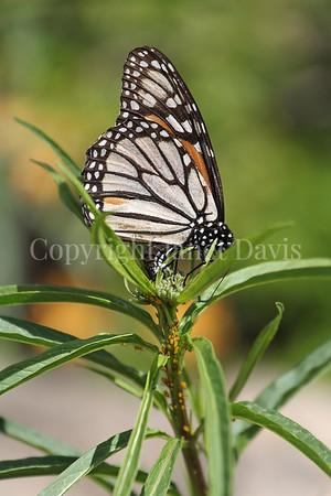Monarch Butterfly Ovipositing on California Narrowleaf Milkweed 2