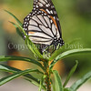 Monarch Butterfly Ovipositing on California Narrowleaf Milkweed 2