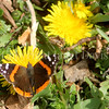 Red Admiral on Dandelion