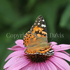 Painted Lady Butterfly on Purple Coneflower 1