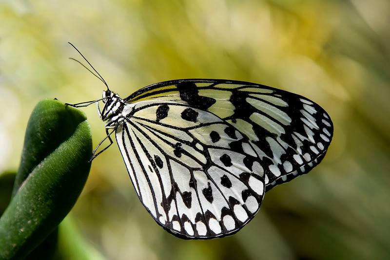 Rice Paper Butterfly IV