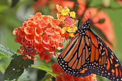 Monarch Butterfly on Lantana 1