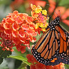 Monarch Butterfly on Lantana 1