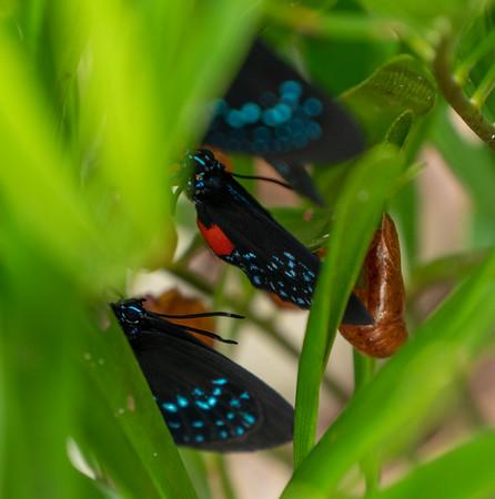 atala butterflies