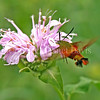 Hummingbird Clearwing Moth on Wild Beebalm 2