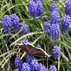Mourning Cloak Butterfly on Grape Hyacinths 2