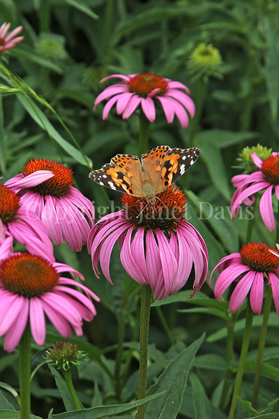 Painted Lady Butterfly on Purple Coneflower 5