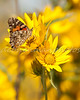 Elegant Painted Lady on Yellow Sunflowers