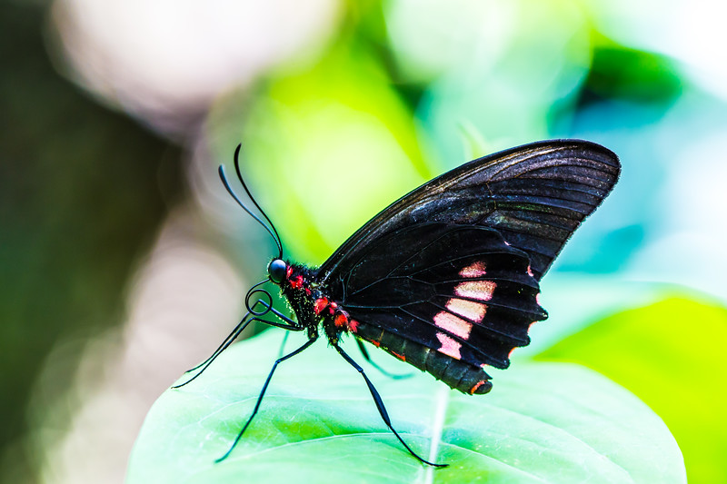 Pink Cattleheart Butterfly (Parides ipidamas)