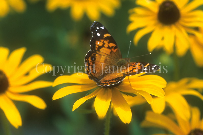 American Painted Lady on Blackeyed Susan 2