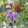 Great Spangled Fritillary Butterfly on Rocky Mountain Blazing Star 1