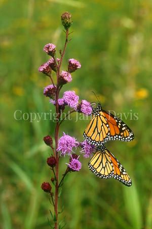 Monarch Butterflies on Meadow Blazing Star 1