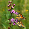Monarch Butterflies on Meadow Blazing Star 1