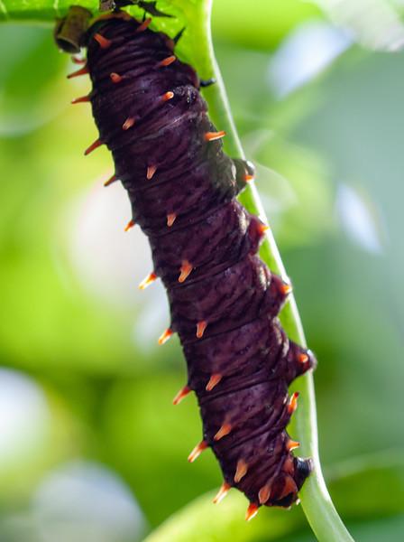 polydamus swallowtail caterpillar