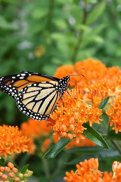 Monarch Butterfly on Butterfly Milkweed 2